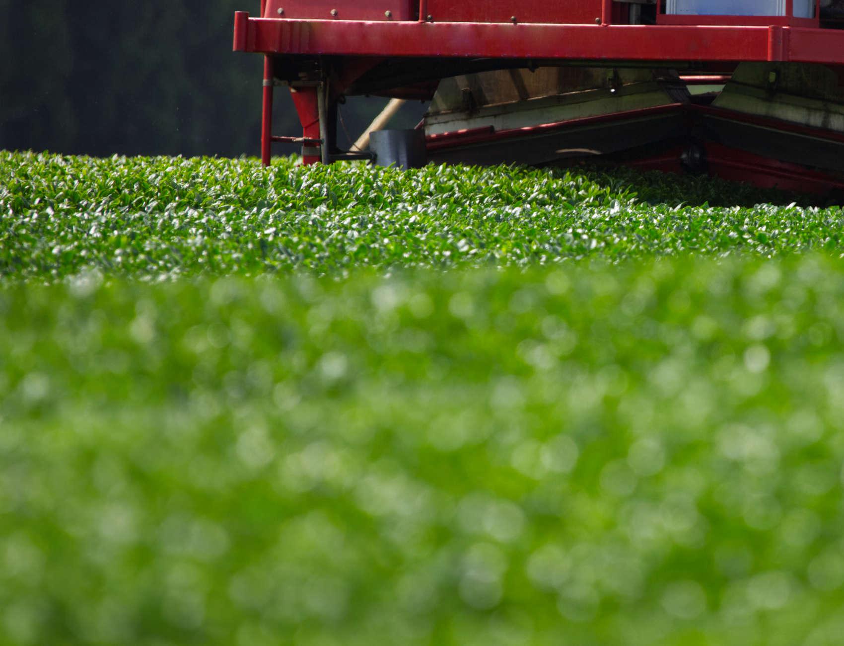 Teesträucher während der Ernte 2020